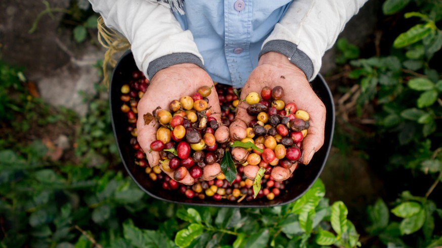Collecting raw coffee beans at a Colombian farm - harvesting concepts