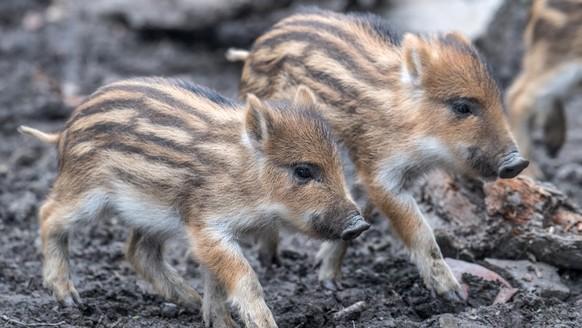 Danemark Baut Grenzzaun Gegen Wildschweine Watson