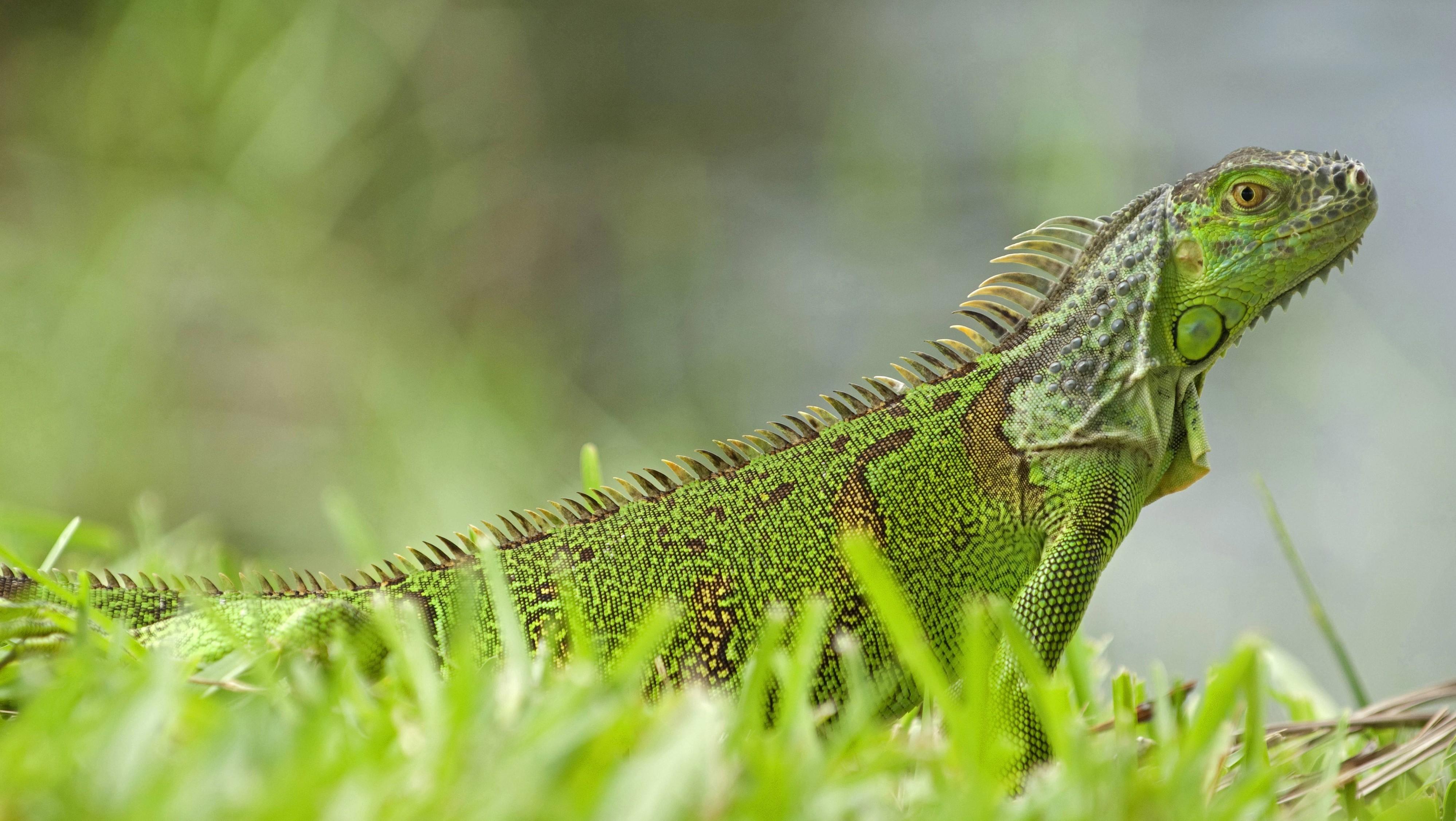 Wetter: Warum in Florida auf einmal Leguane herabstürzen