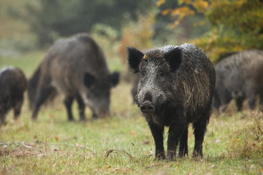 Italienische Polizei zerschlägt Drogenring – mit Hilfe von Wildschweinen