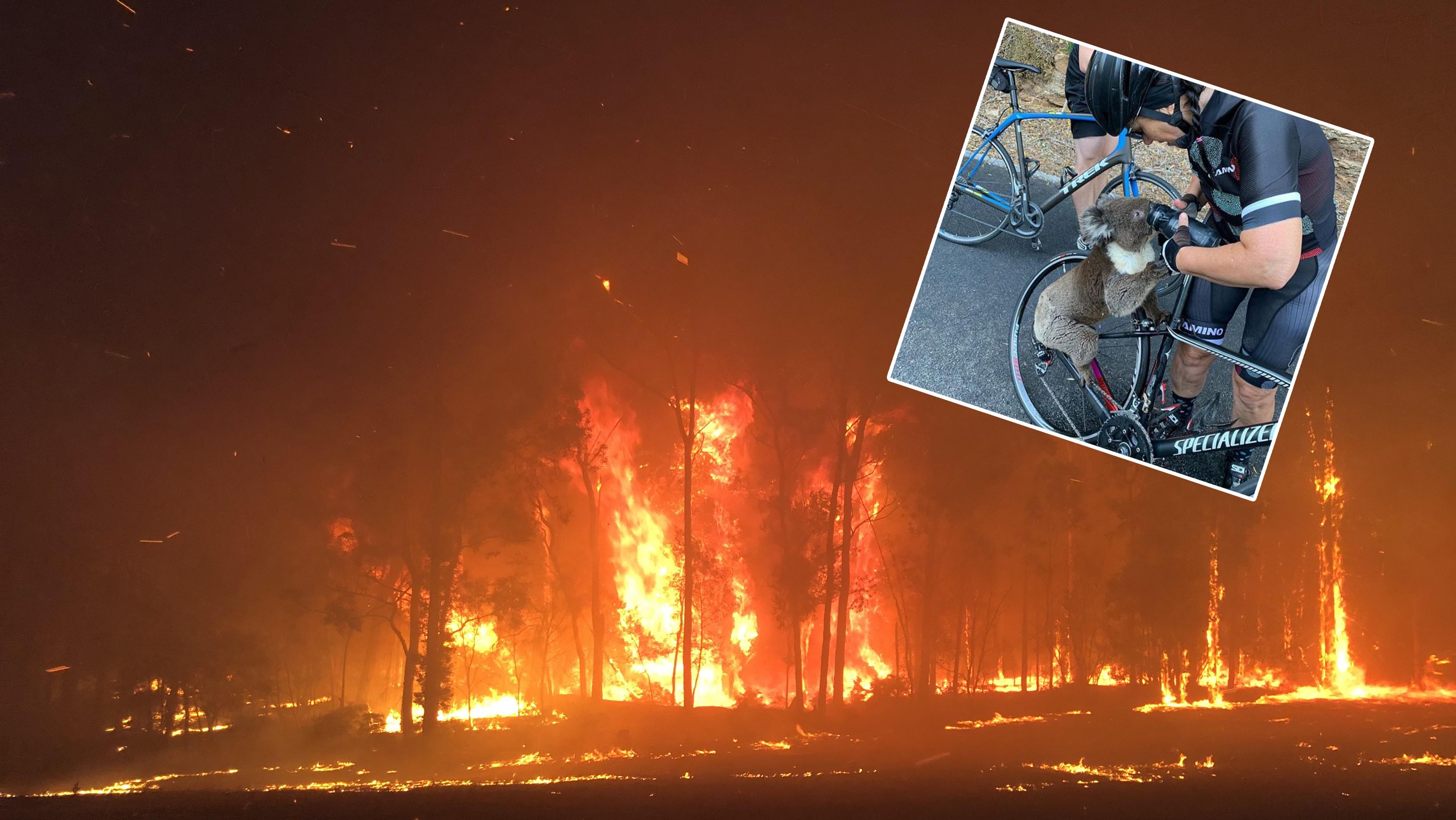 Buschbrände wüten in Australien – immer mehr Koalas leiden