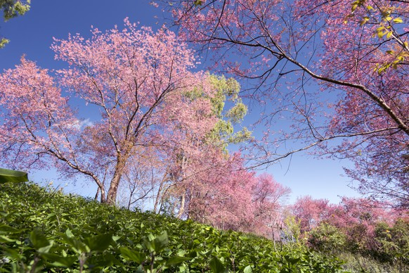 cherry blossom trees located in the north of Thailand.The flowers will bloom in the winter of each year from January to February.