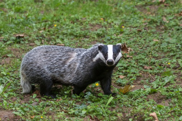 European badger (Meles meles) foraging in grassland. (Photo by: Arterra/UIG via Getty Images)