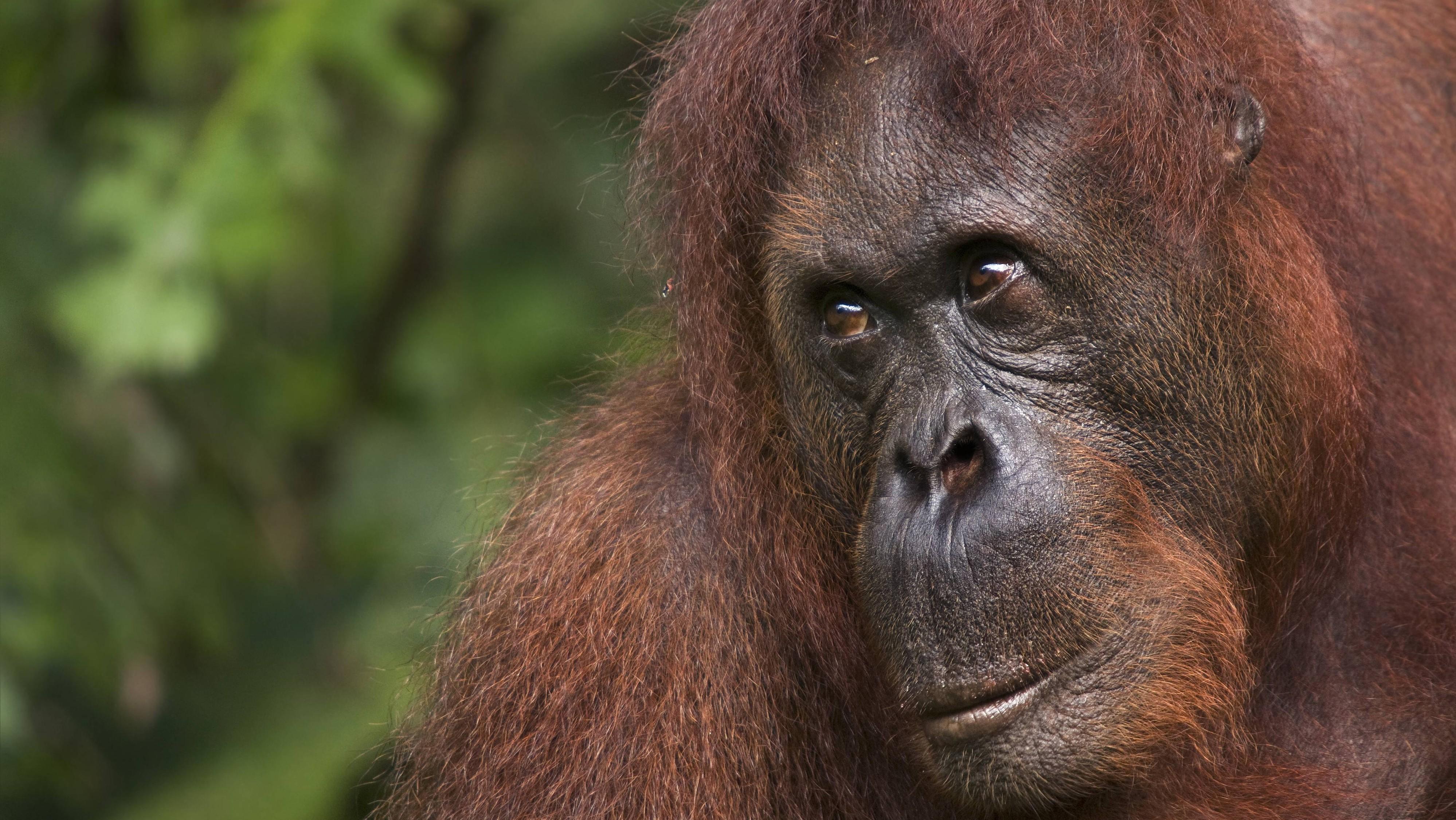 Rührendes Bild. So will ein Orang-Utan seinem Beschützer helfen