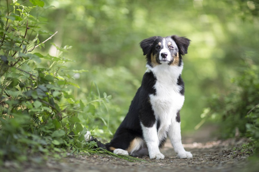 Australian Shepherd, Aussie (Canis lupus f. familiaris), Welpe sitzt auf einem Waldweg, Deutschland Australian Shepherd (Canis lupus f. familiaris), whelp sitting on a forest path, Germany BLWS483875 Copyright: xblickwinkel/R.xSchoenenbergx