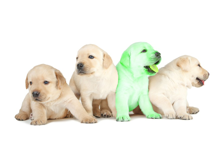 Labrador puppies isolated on white background