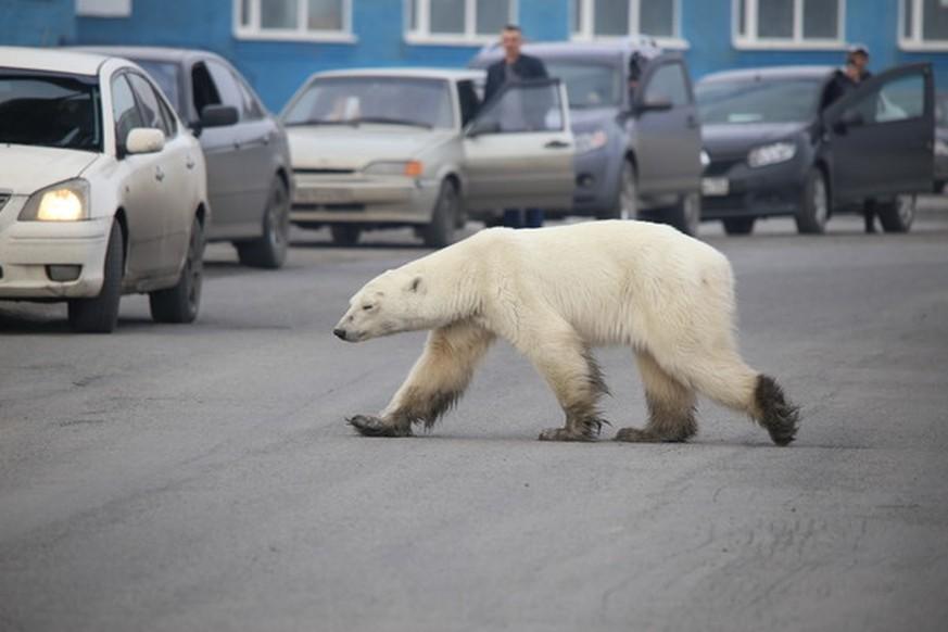 Eisbär suchte in sibirischer Stadt nach Futter