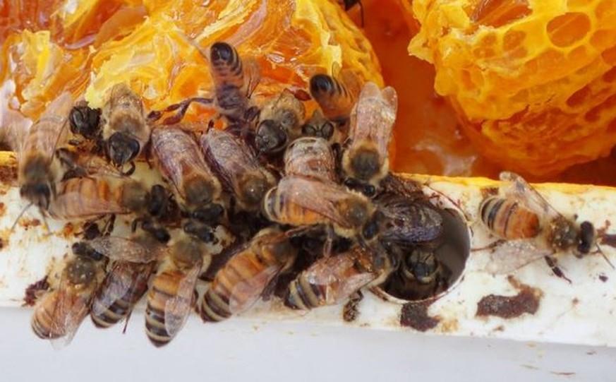 In Australien sterben gerade haufenweise Bienen – weil sie zu besoffen sind