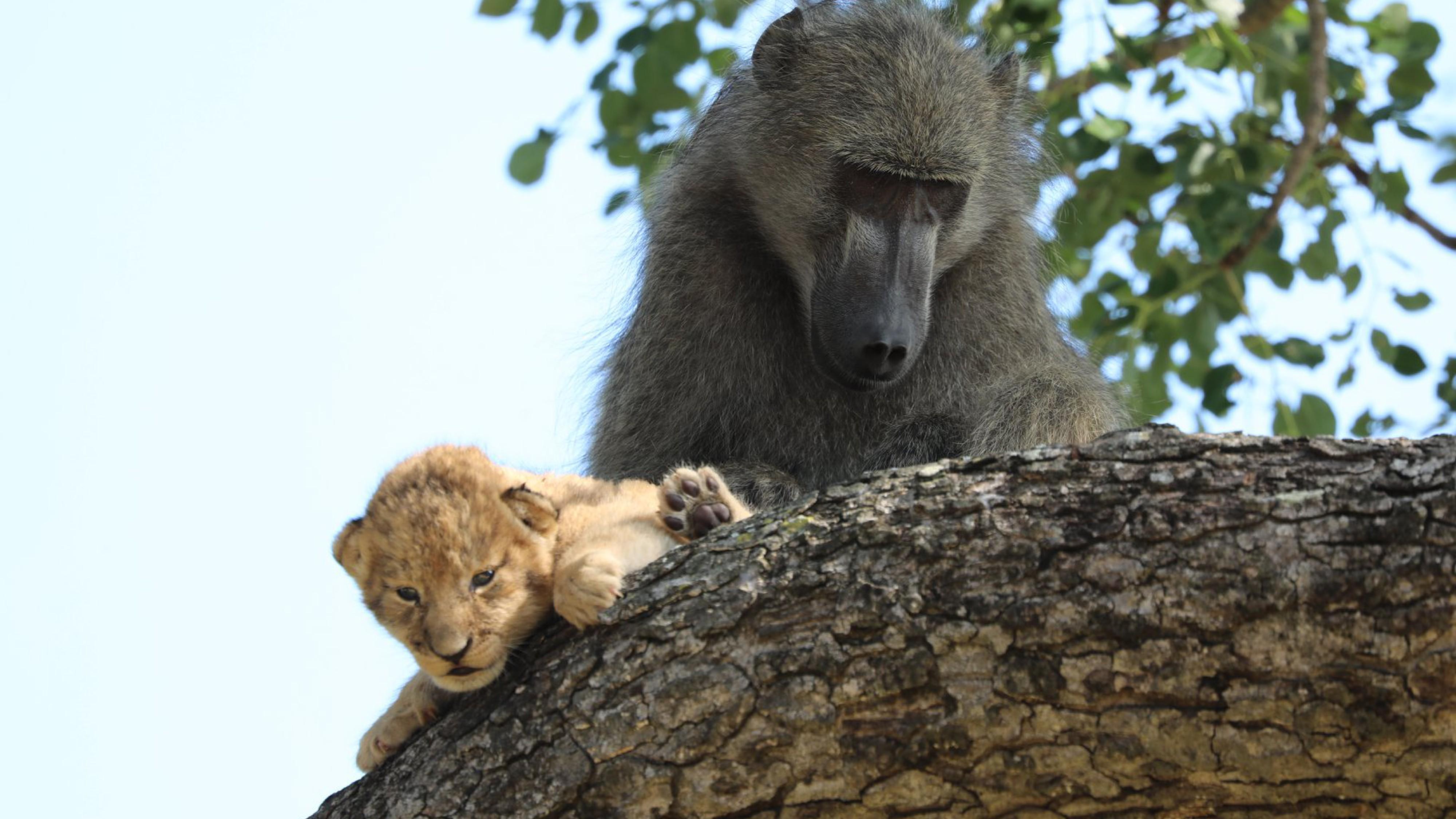 Affe klaut Löwenbaby – ob es überlebt hat, ist ungewiss