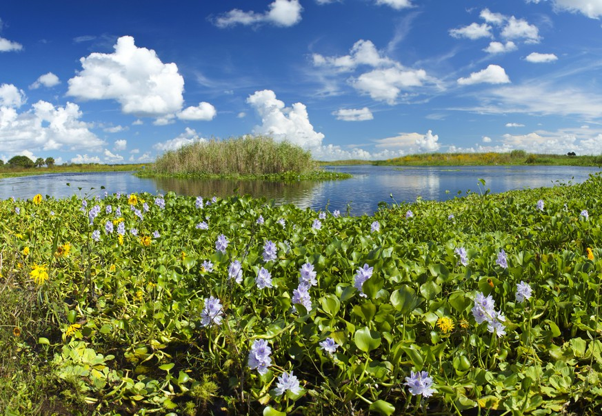 Water Hyacinth by the St. Johns river in Central Florida