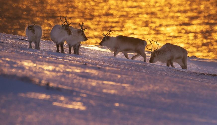 Auf Spitzbergen sind 200 Rentiere verhungert – Grund ist offenbar der Klimawandel