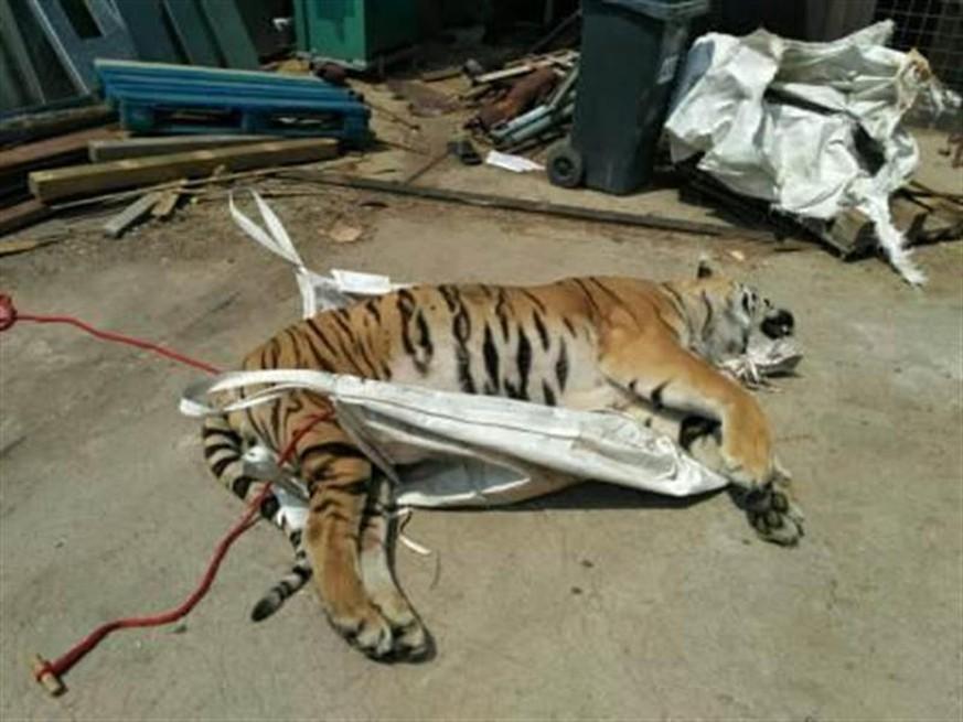 Tigersterben Tiger Schlachthaus In Tschechien Nahe Prag Entdeckt