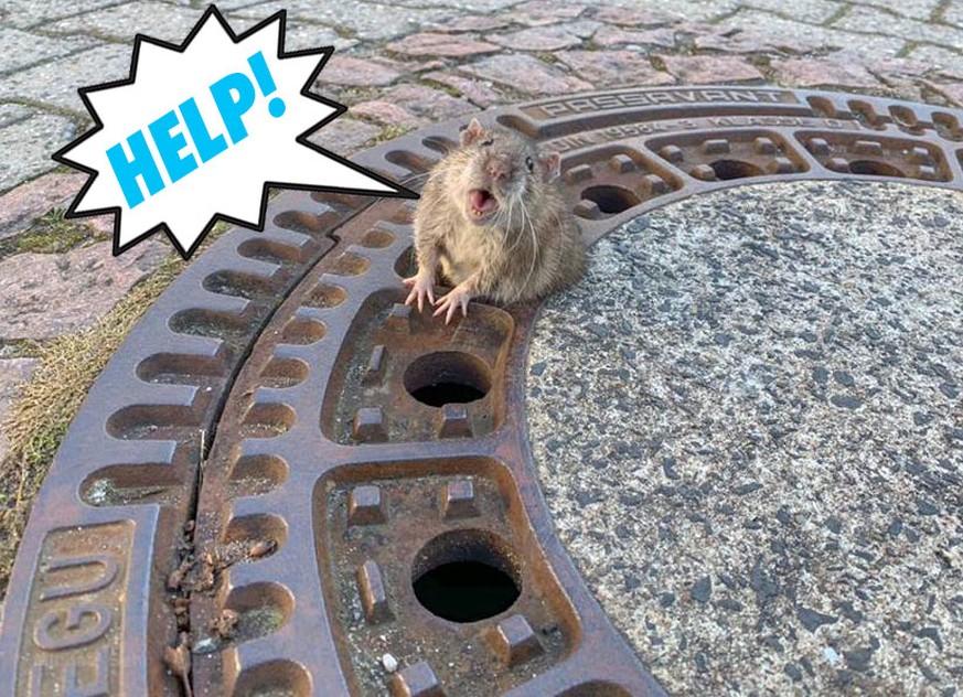 Ratte Dieses Dickliche Tier Musste Von Der Feuerwehr Gerettet