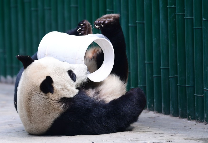 April 26, 2018 - Shenyan, Shenyan, China - Shenyang, CHINA-26th April 2018:The panda Pupu plays at Shenyang Forest Zoo in Shenyang, northeast China's Liaoning Province, April 27th, 2018. The panda Pupu is identified as female panda by mistake at the beginning. The zoo keeper made another check-up of the panda Pupu this April and found that it was a male panda |