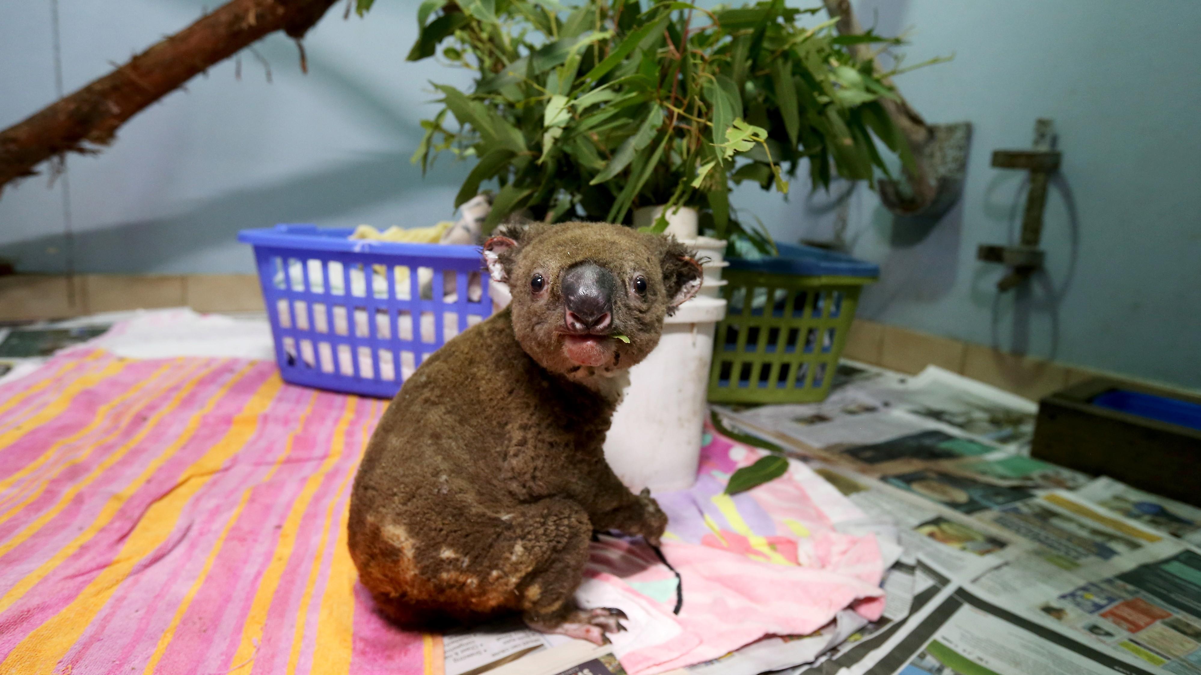 Koalas im Rauch: So leidet Australiens Tierwelt unter den Bränden