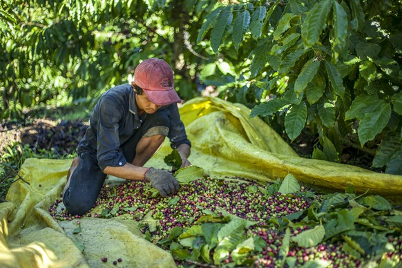 (151202) -- HO CHI MINH CITY, Dec. 2, 2015 () -- A villager sorts coffee berry in Tan Lac ward, Lam Dong province, Vietnam, Dec. 2, 2015. The coffee industry is a major component of the Vietnamese economy, the export value of which is only second to rice. (Xinhua/Xuan Long) |