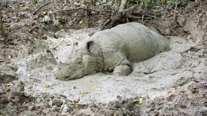 Letztes Sumatra-Nashorn in Malaysia gestorben – doch noch gibt's Hoffnung
