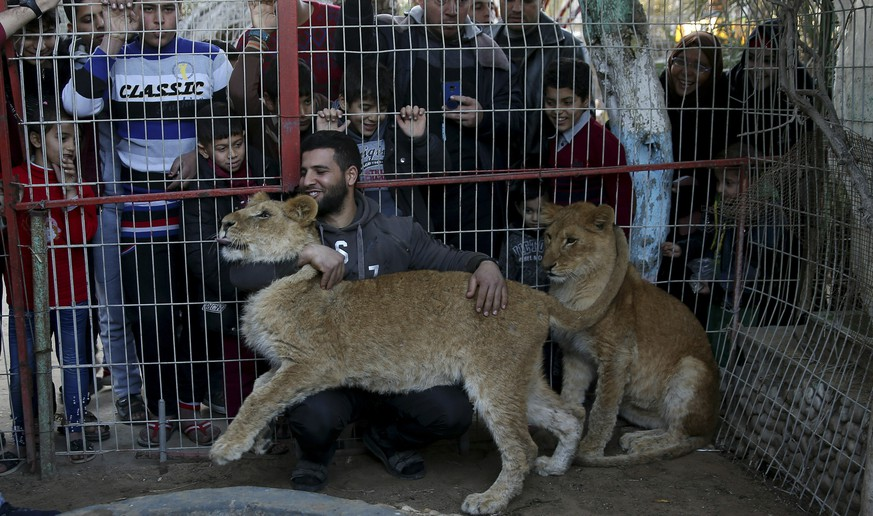 Palestinian visitors watch Ahmad Jomaa, a zoo worker, play with two lions inside their cage at the zoo in Rafah refugee camp, southern Gaza Strip, Friday, Jan. 18, 2019. Fathi Jomaa, a zoo owner said that four lion cubs died from the cold storm weather at the small zoo. (AP Photo/Adel Hana)