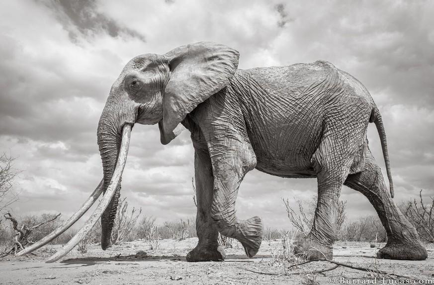 afrika diese fotos zeigen einen der seltensten elefanten der welt