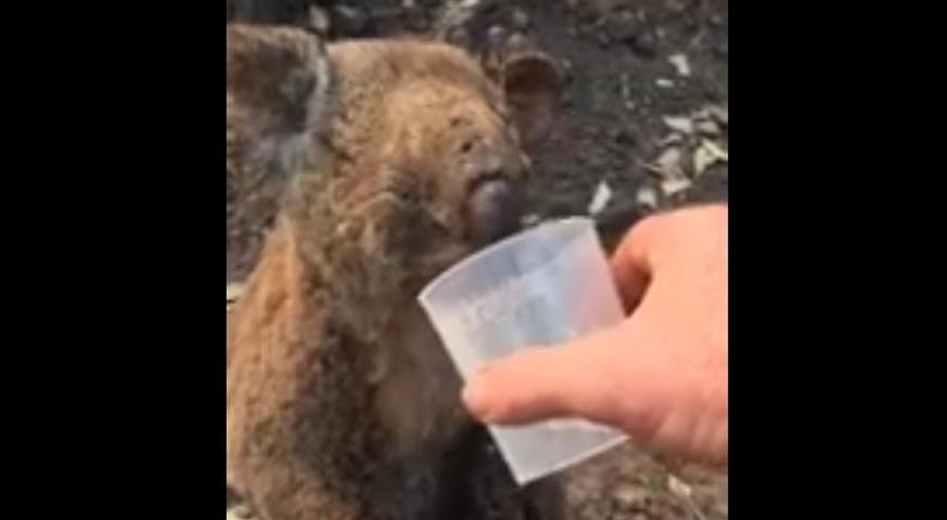 Koala überlebt Waldbrände in Australien: Ihr erster Schluck Wasser rührt das Netz