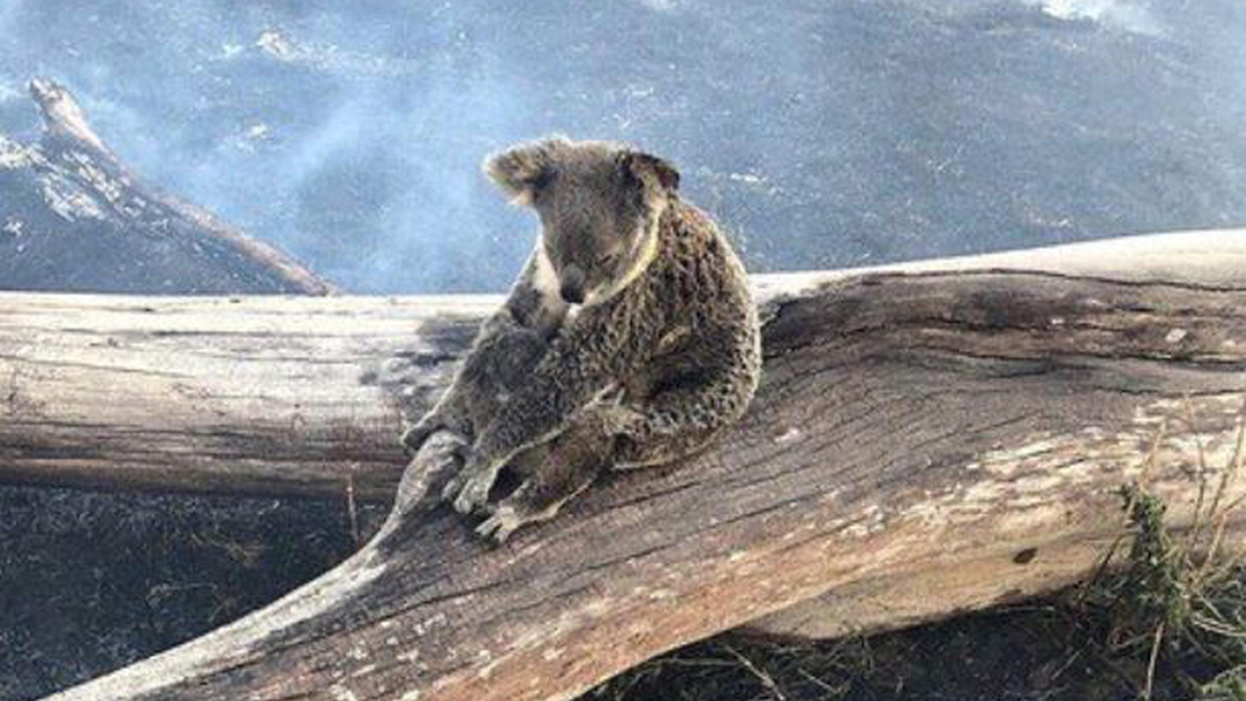 Australien: Koala-Mutter überlebt mit Baby Buschfeuer – ihr Foto rührt Tausende