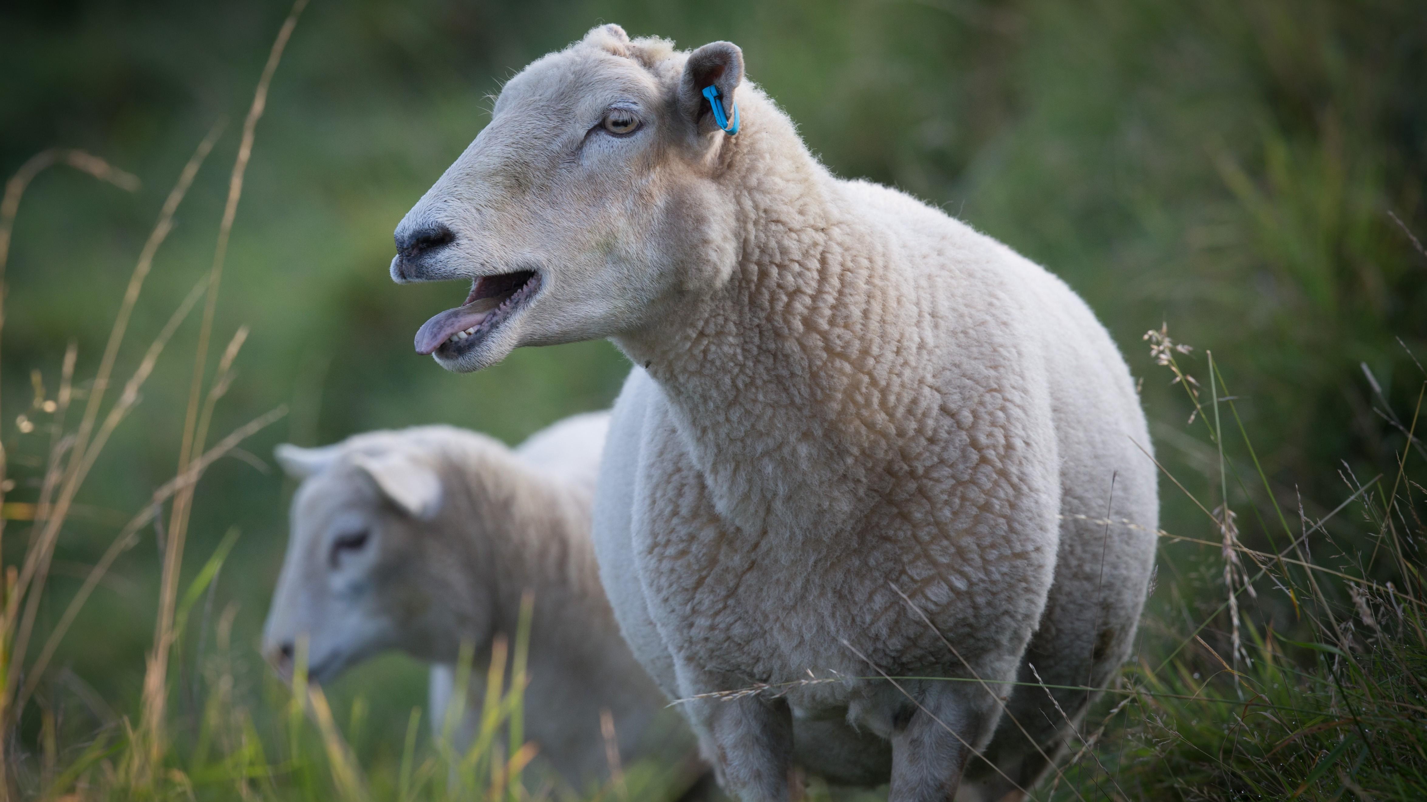 Schaf besucht Tankstelle – und schlägt Kunden in die Flucht
