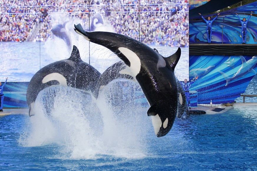 January 8, 2017 - San Diego, CA, USA - Orca whales perform during the final Shamu show, One Ocean at Sea World San Diego on Sunday, January 8, 2017. San Diego USA PUBLICATIONxINxGERxSUIxAUTxONLY - ZUMAs44_ 20170108_zaf_s44_001