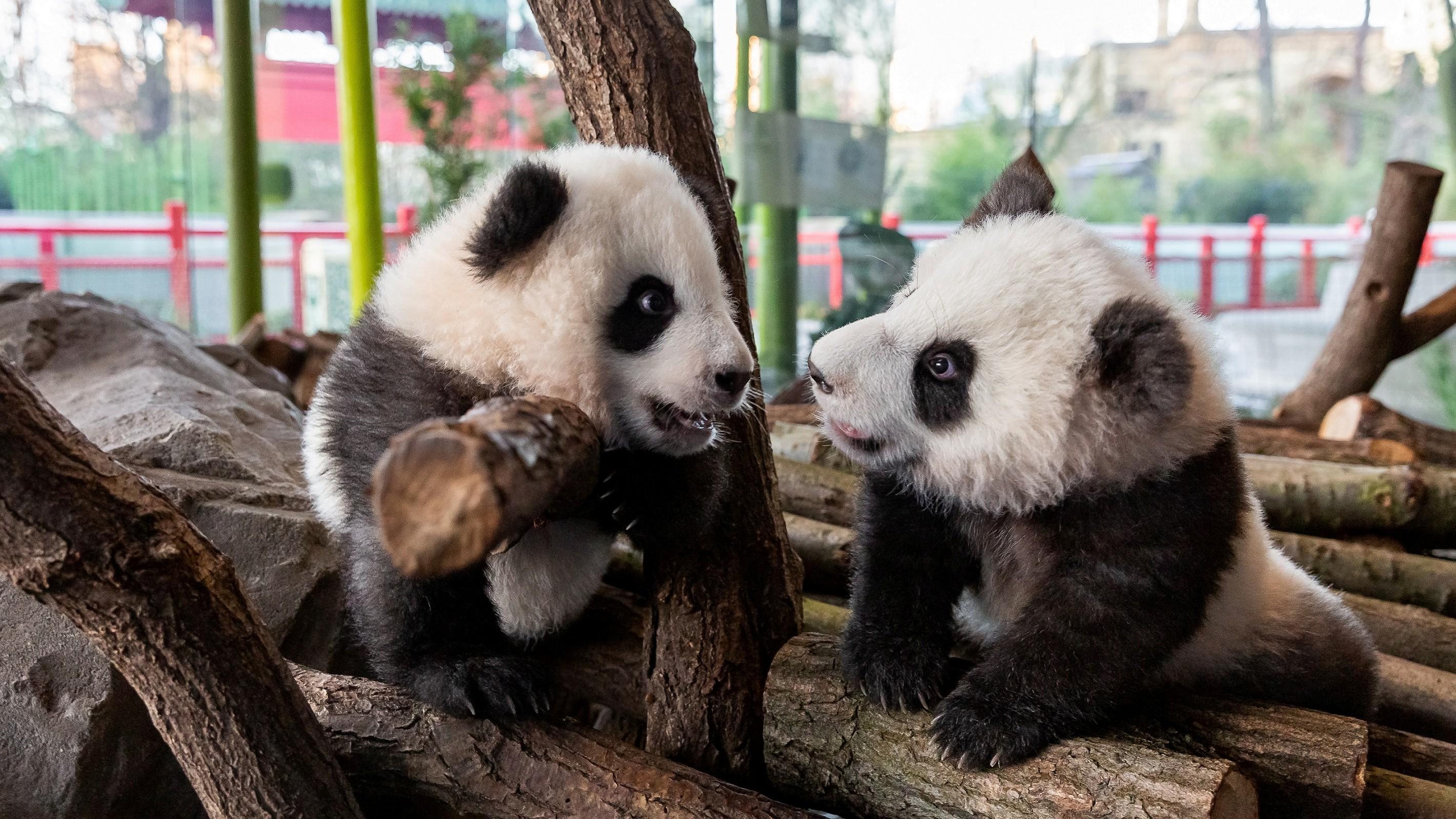 Lassen Herzen schmelzen: Bärlins neue (Panda)-Bärchen