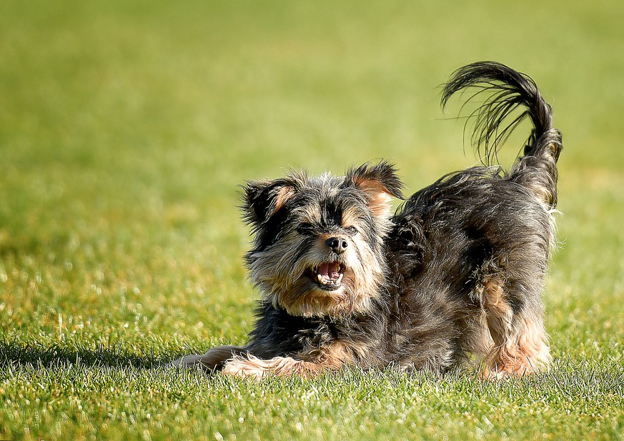 Leegebruch Yorkshire Terrier Hund laeuft im Gras 10.04.2020,Yorkshire Terrier Hund laeuft im Gras *** Leegebruch Yorkshire Terrier dog running in the grass 10 04 2020,Yorkshire Terrier dog running in the grass Copyright: xEibnerxPressefotox/xDanielxLakomskix EPdli