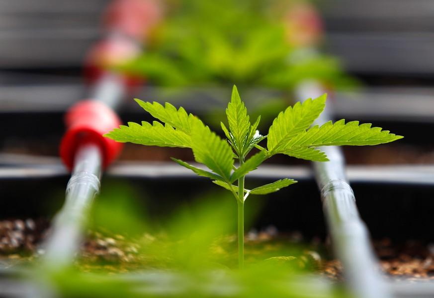 In Kanada ist Cannabis seit einem Jahr legal – was seitdem passiert ist